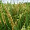 El Ministro de Agricultura firmó convenio para la producción arrocera por $5 millones