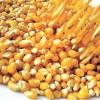 Tratamiento diferencial a productores de maíz
