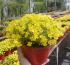 La Argentina exporta una planta ornamental obtenida por el INTA