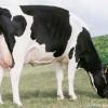 Crean el programa para mejorar los reproductores bovinos de leche