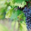 San Juan: Anuncian nuevas medidas para la industria vitivinícola