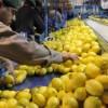 Los limones argentinos accederán al mercado de Estados Unidos en 2017