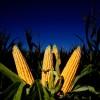 Las ventas de maíz al sector exportador aumentaron 12,4 por ciento