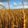 Las exportaciones de trigo crecieron un 23 por ciento