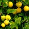 Se realizó el primer embarque de la historia con limones de Tucumán a México