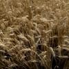 Agroindustria logró que Brasil no incluya arancel 0% para el trigo extra Mercosur