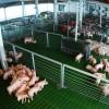 La Argentina fue reconocida internacionalmente como país libre de Peste Porcina Clásica