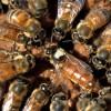 Empresas apícolas argentinas exportarán abejas reinas al Uruguay