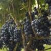 Las exportaciones de vino a granel aumentaron 582,6% en septiembre