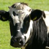 La Argentina podrá exportar bilis bovina a Nueva Zelanda