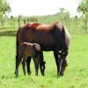 Argentina abre el mercado de embriones equinos a Kenia