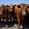 La Argentina exportará por primera vez bovinos en pie a Kazajistán