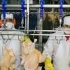 Primera exportación avícola a Canadá