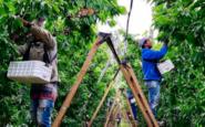 Importante crecimiento en la exportación de cerezas de la provincia de Neuquén