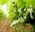 Buenas prácticas agrícolas obligatorias para hortalizas – Fomenta las exportaciones